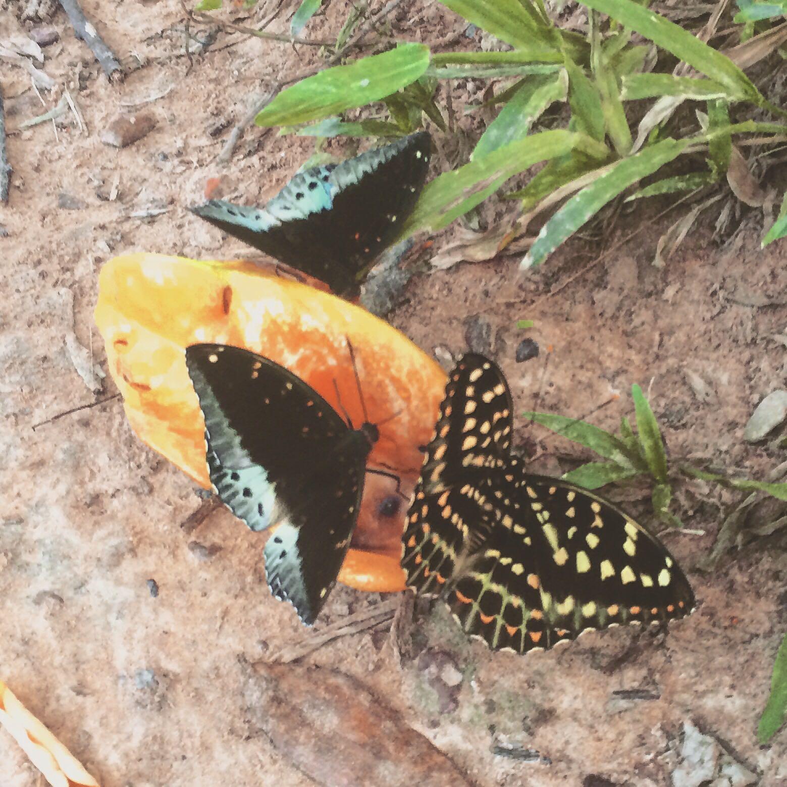 Starfruit & Butterflies